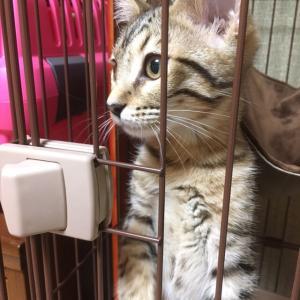 2019-05-23 ベンガル猫を語ってみる