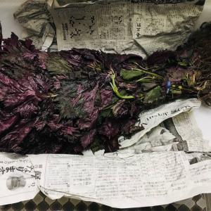 梅干し 赤紫蘇を仕込む