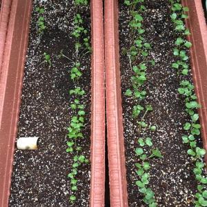 【プランター農園】発芽、と間引き菜