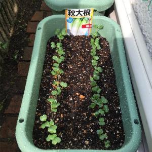 【プランター農園】根菜類の発芽