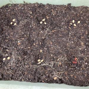 【プランター農園】大豆と小豆の植え付け、そしてビワに実が生る