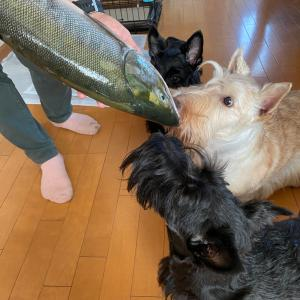 鮭大漁!サーモンチップづくり