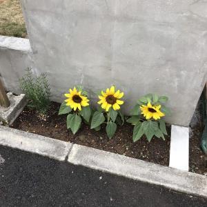 門扉前のお花ゾーンに小ぶりなひまわりを植えてみました。