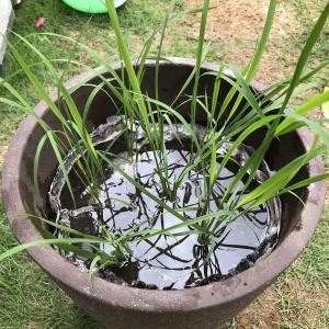 バケツ稲作りに挑戦してみました。