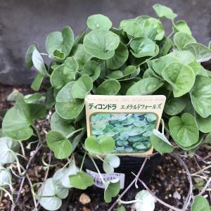 グランドカバー導入① ディコンドラを植えてみました。