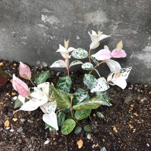 グランドカバー導入② ハツユキカズラを植えてみました。