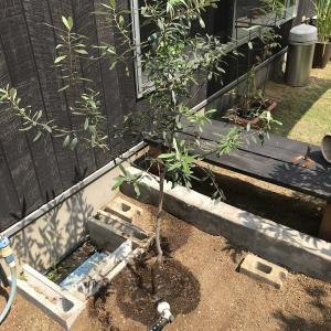 オリーブの地植えと庭木の紹介。シンボルツリーをつくる。