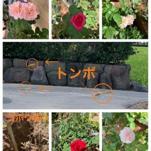 今のバラと野菜畑