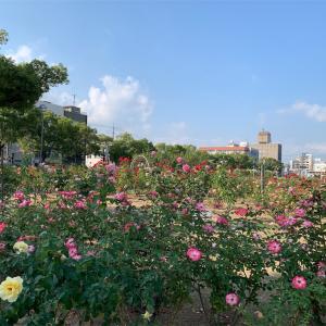 広島県福山市 バラ公園の秋バラ♪