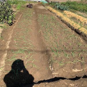 玉ねぎの苗植えと高枝切り鋏で柿取り♪