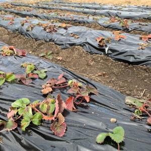 イチゴのマルチかけや柚子の収穫とゆず茶