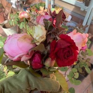 今日の庭のバラ、クリスマスローズ♪
