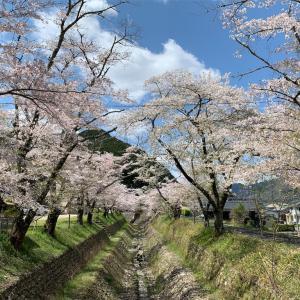高梁市成羽町 白谷公園の桜と、ホームセンターでマスク。