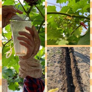 ピオーネのジベレリン処理と生姜と里芋を植えました。