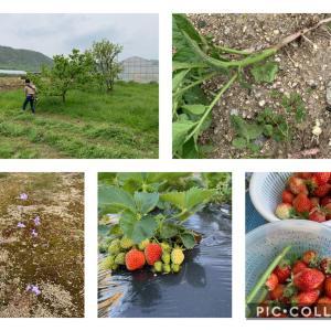 イチゴの収穫とジャガイモの芽かきと草刈機デビュー