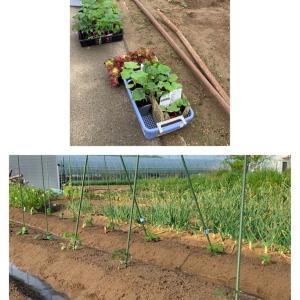 夏野菜植えました♪