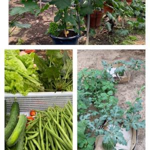日曜日の野菜畑