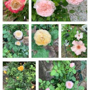 バラの2番花が花盛り♪