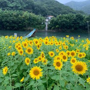 岡山市北区牟佐のひまわり畑♪と沈下橋