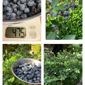 庭のブルーベリー収穫♪