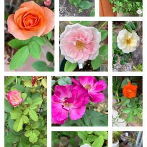 暑いけれどバラが咲いています♪その2と台風怖い…