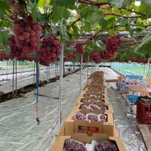 ブドウ 紫苑の出荷作業