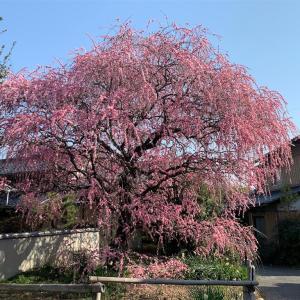 倉敷市有城 枝垂れ梅を見に行きました♪