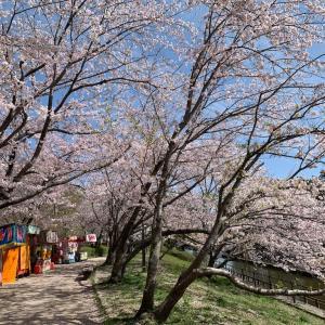 倉敷市 酒津公園の桜も満開🌸