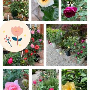 庭のバラ♪