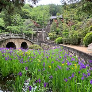 笠岡市 菅原神社の眼鏡橋とカキツバタ 見頃でした♪