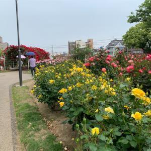 福山市 バラ公園のバラ