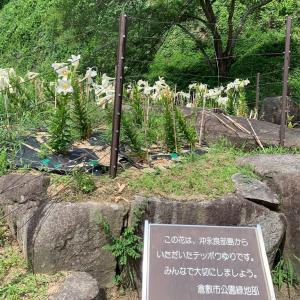倉敷市 亀島山花と緑の丘公園 テッポウユリ(エラブユリ)♪