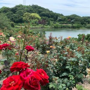 倉敷市 種松山公園西園地のバラとアジサイ♪