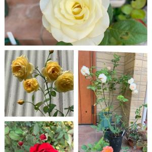 バラの夏剪定と追肥