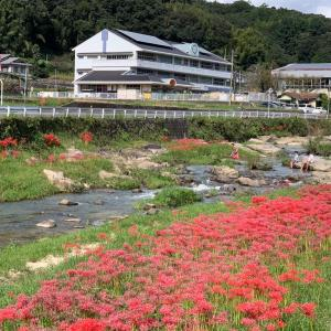 矢掛町 美山川沿いの彼岸花