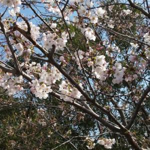 鎌ケ谷市制公園のソメイヨシノ