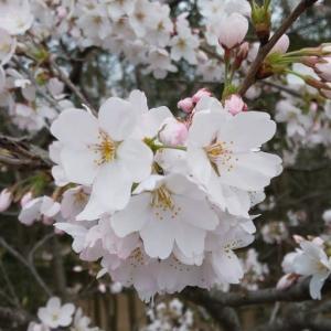 もうすぐ満開鎌ケ谷市制公園のソメイヨシノ