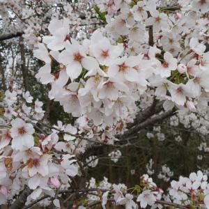 見納めのソメイヨシノ 鎌ケ谷市制公園