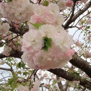 福太郎アリーナの桜