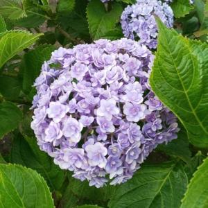 2020/06/05紫陽花