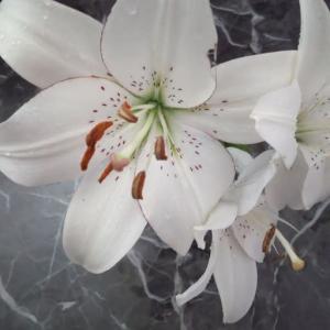 白いゆりはとても綺麗!