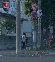 旭川市内キツネを多く見かけるようになったな〜