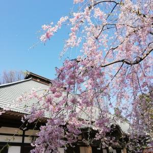 ソメイヨシノには間に合わなかったけど、遅咲きしだれ桜には間に合った、退院後の桜コーデ・その1の着姿。