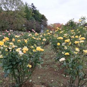 秋薔薇満開!の与野公園で、10月の『薔薇と水玉』コーデの着姿♪