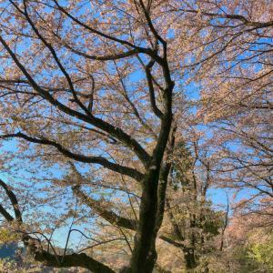 武蔵野日記ー桜の終わり