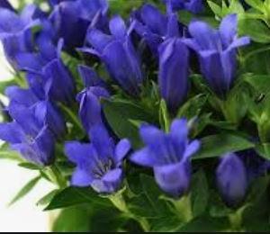 「半沢直樹」の最終回の主役は妻・半沢花(上戸彩)とリンドウの花だった?