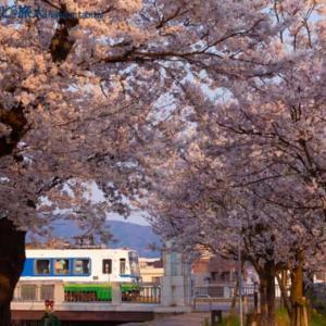 桜並木の向こう(足羽山公園口にて)