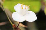 今日の誕生花(ブライダルベール)