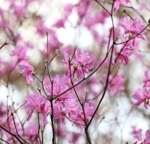 今日の誕生花(ミツバツツジ)