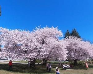 桜 満開 バンクーバー